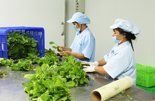 Bên trong hệ thống nhà kính trồng rau sạch của VinEco tại Tam Đảo