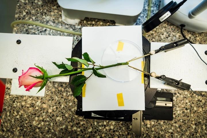 Nghiên cứu mới giúp biến hoa hồng thành siêu tụ điện