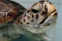 Phát hiện 915 đồng xu trong bụng một con rùa biển xanh