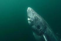 Cụ cá mập Greenland 512 tuổi sống thọ nhất hành tinh