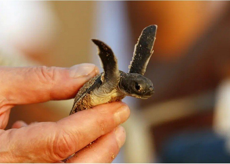 Gần 50% rùa biển con chết vì rác thải nhựa